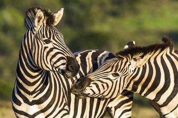 Burchells Zebra stallions greeting one another by touching muzzl