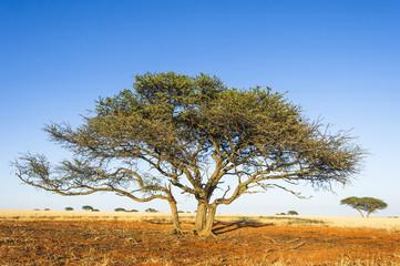 Camel thorn acacia tree growing on red kalahari sands