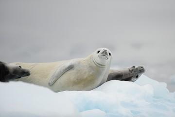 Seals, Antarctica