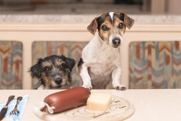 Zwei Hunde am gedeckten Tisch - Jack Russell Terrier