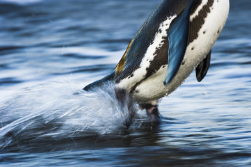 African Penguin emerging from the sea