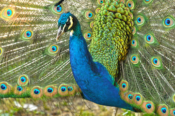 Peacock close up, tail open