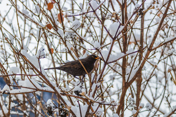 dark bird in snowy bush branches