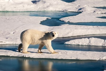 Beautiful polar bear in Arctic sea ice landscape