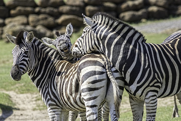 Fun animal image of a family of zebras
