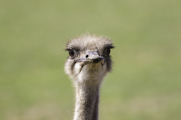 Ostrich (Struthio camelus) face with copy space.