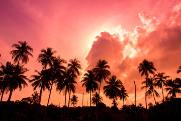 coconut garden with sunset