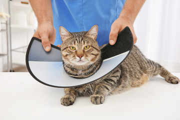 Veterinarian putting cone of shame on cat
