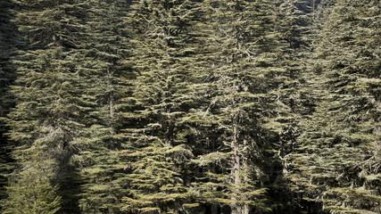 Ground cedar tree background