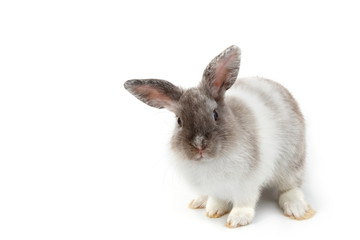 Short hair adorable baby rabbit on white background