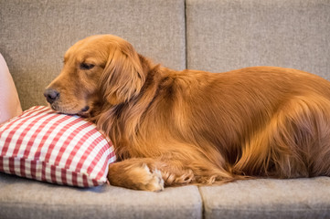 The Golden Retriever sleeps on the couch
