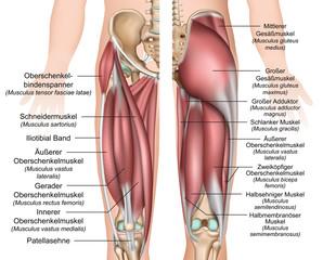 Anatomie der Oberschenkel und Gesäßmuskulatur