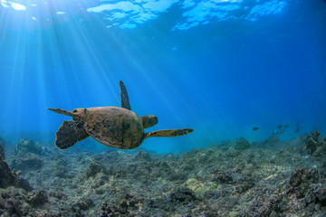 Turtle underwater in Pacific ocean. Loggerhead floating up away of camera into blue water. Marine wild animal on natural background
