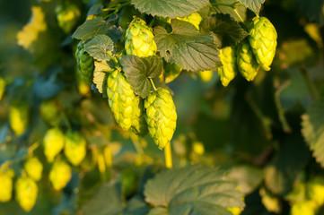 Close up photo of green hops