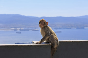 Monkey of Gibraltar perched on a ledge