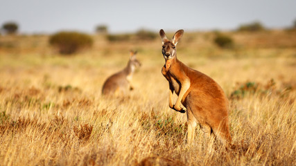 Tuinposter Kangoeroe Red Kangaroo, Flinders Ranges National Park, South Australia