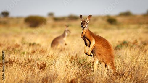 Wall mural Red Kangaroo, Flinders Ranges National Park, South Australia