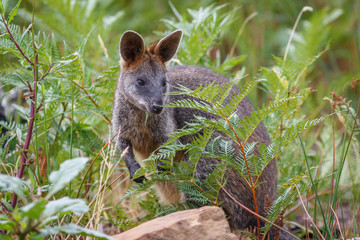 Wall Mural - Swamp Wallaby eating ferns in the Australian Outback