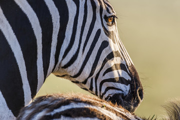 Eye detail of a Burchells Zebra
