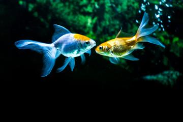 Gold Fish in fresh water aquarium