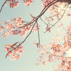 Vintage cherry blossom - sakura flower. nature background