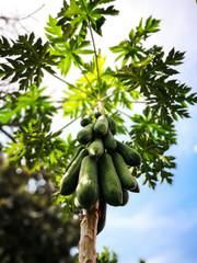 The papaya tree and papayas.