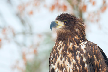 Juvenile White-tailed eagle portrait