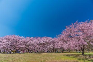 Cherry Blossom in Takato