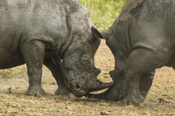 White Rhino bulls fighting