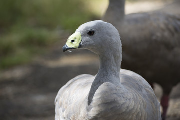 Cape Barren Goose (Cereopsis Novaehollandiae) - Head Only