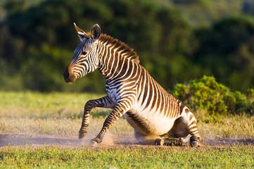 Cape Mountain Zebra dust bathing
