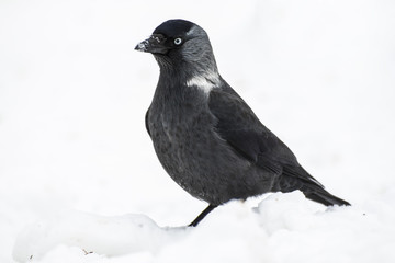 jackdow (crow) in snow