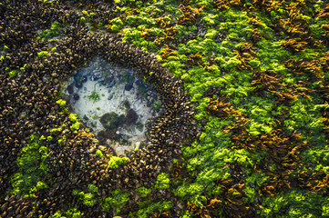 Mussel beds and sea lettuce exposed on rocky intertidal flat