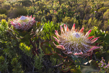 King Protea in full bloom
