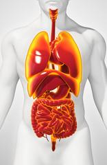 3D illustration of Human Internal Organic.