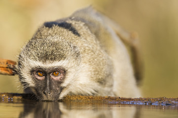 Vervet monkey drinking from waterhole, KwaZulu Natal, South Africa