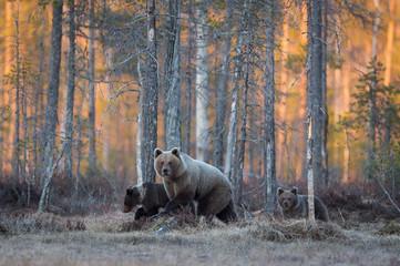 Brown Bear family walking over the bog
