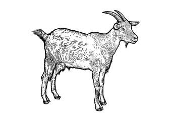 goat, horn, fur, beard, hoof, engraving, illustration, vector