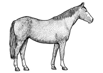 Engraving, drawing, illustration, vector, horse, tail, mane, hoof
