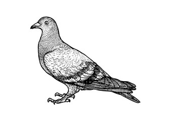 pigeon, peace, dove, feather, draving, engraving, vector