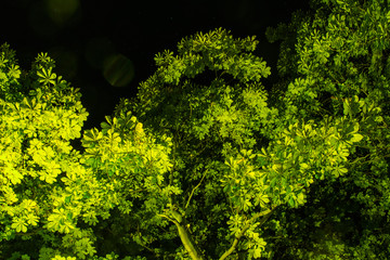 chestnut tree leaves in the night. bottom view