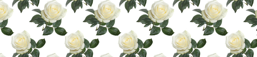 Wall Mural - panorama  pattern fresh white roses