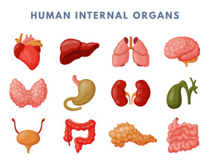 Internal organs vector illustration.