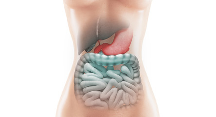 Anatomia organi stomaco intestino e fegato malati o cirrosi o tumore
