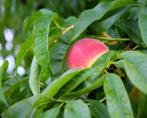 Ripe peach hanging on the branch with green leaves