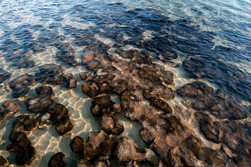 Stromatolites in the sea near Denham, Western Australia