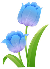 Blue tulips on white background