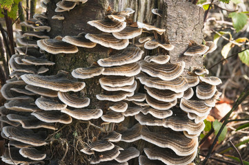 Many-Zoned polypore bracket fungus growing on a tree trunk