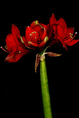 red amaryllis flower on black background