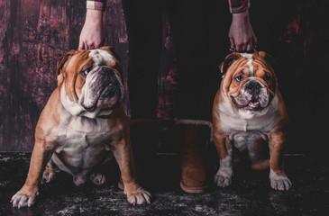 Holding English bulldogs